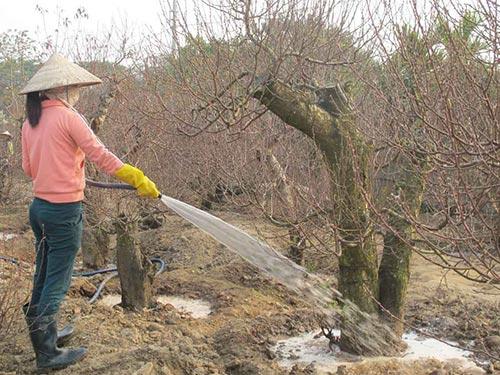 Người trồng đào ở phường Nhật Tân, quận Tây Hồ, Hà Nội đang đối mặt với một mùa vụ lỗ lã
