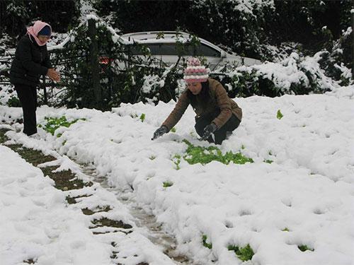 Người dân huyện Sa Pa, tỉnh Lào Cai dọn tuyết trên hoa màu