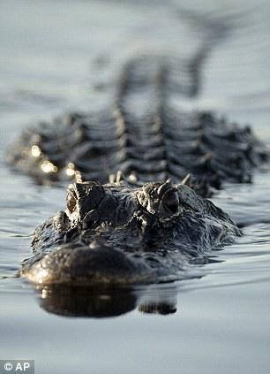 Cá sấu Mỹ chiến thắng trăn Miến Điện. Ảnh: AP