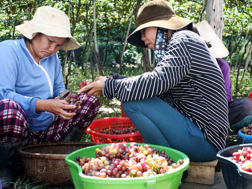 Người trồng nho ở Ninh Thuận phấn khởi vì được mùa, trúng giá.