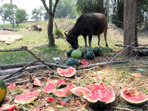 Dưa hấu ế, nông dân Quảng Ngãi đành để cho trâu, bò ăn