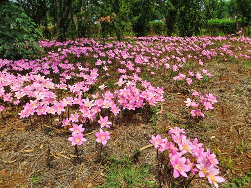 Những bông hoa màu hồng mọc khắp Pyin Oo Lwin.