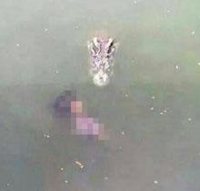Một con cá sấu lao đến thi thể nạn nhân. Ảnh: Bangkok Post
