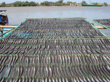 Phơi khô cá kèo bên bờ sông Long Toàn (Duyên Hải).