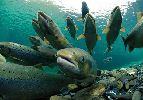 Vào mùa sinh sản, cá hồi sẽ ngược dòng về
