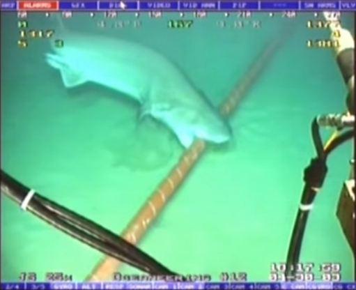 Con cá mập lượn lờ phía trên, sau đó lao xuống nhai đoạn dây cáp. Ảnh: Youtube