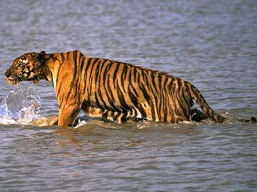Một người đàn ông Ấn Độ đã bị hổ Bengal vồ chết hôm 26-6. Ảnh: AP