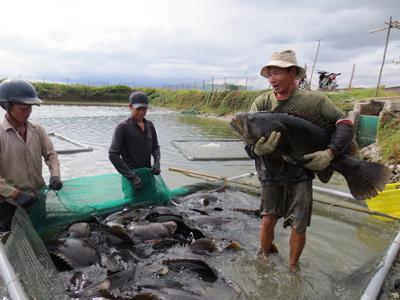 Cá mú nghệ được người nuôi trồng Cam Ranh cung ứng trong dịp Tết.