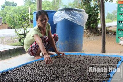 Sau khi mua quả ươi tươi, bà Dung phơi khô để bán.