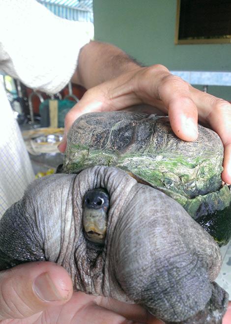 Phần mai của chú rùa nhô cao và tròn như cái mũ nồi. Trong khi đó, phần yếm bên dưới cũng bé xíu và có màu vàng.