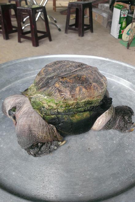 Nếu như loài rùa thường có mai cứng và chiếm phần lớn trọng lượng cơ thể thì con rùa này có phần mai rất bé so với phần cơ, xương.