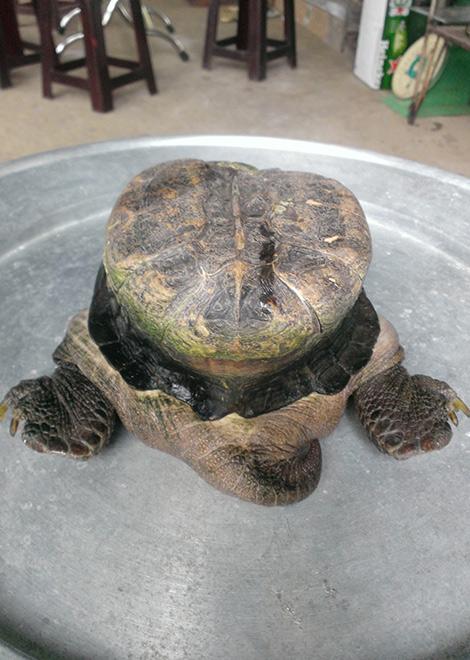 Dù có nỗ lực chú rùa cũng không thể rụt cổ vào trong mai một cách hoàn toàn như những chú rùa bình thường.
