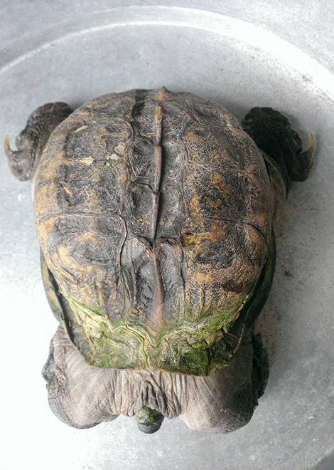 Anh Võ Minh Tuấn cho biết, nhiều người tới đặt vấn đề mua chú rùa về làm cảnh với giá cao.