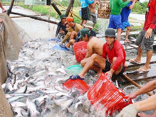 Người nuôi cá tra ở ĐBSCL không chỉ đối diện với tình trạng giá cả bấp bênh mà còn bị doanh nghiệp  thiếu nợ dây dưa Ảnh: THỐT NỐT