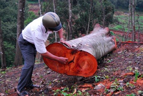 Những gốc cây giá tỵ có đường kính 30-50 cm bị đốn hạ, dấu vết còn tươi mới