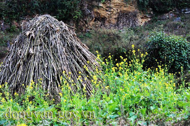 Hoa cải được trồng sau khi thu hoạch ngô. Những cây ngô được quây lại để khô trên nương