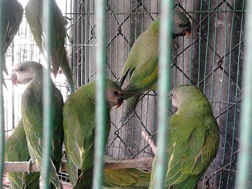 Một bầy vẹt được rao bán trên đường Hồng Bàng, quận 5