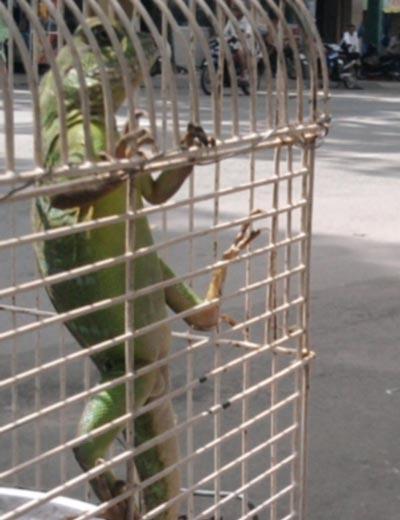 Kỳ nhông xanh, món mồi ngôn của dân nhậu, được rao bán trên lề đường Lê Hồng Phong (phường 2, quận 10)