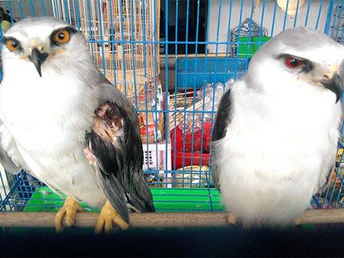 """Hai con chim diều trắng cũng bị đem chào hàng ở """"chợ chim"""" đường Trường Chinh"""