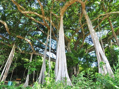 Cây đa Sơn Trà (TP Đà Nẵng) được công nhận cây di sản Việt Nam vào tháng 6-2014