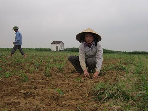 Sau hơn 2 tháng người dân xã Khánh Sơn gieo trồng giống ớt lạ, nay cây cao chưa bằng gang tay