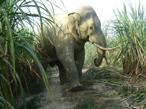 Mất môi trường sống, voi về phá nát nương rẫy của người dân