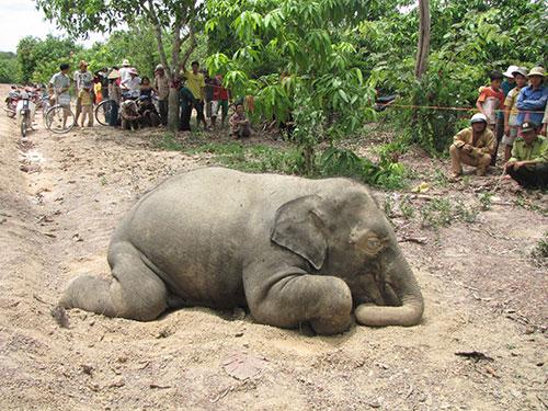 Đàn voi rừng tại Đồng Nai đã chết dần trong những năm qua