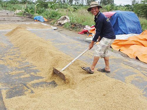 Giá lúa ở ĐBSCL hiện tăng từ 800-1.100 đồng/kg so với cuối tháng 6 Ảnh: CA LINH