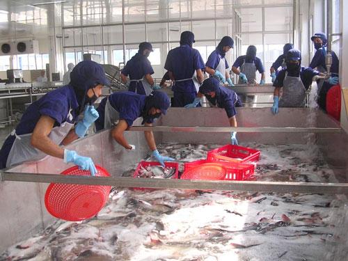Cần có lộ trình để các doanh nghiệp chế biến và xuất khẩu cá tra đủ thời gian thực hiện tốt Nghị định 36 Ảnh: THỐT NỐT