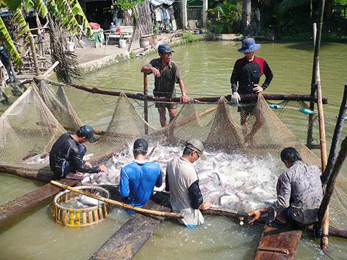 Thu hoạch cá tra ở đồng bằng sông Cửu Long Ảnh: THANH VÂN