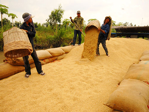 Nông dân ĐBSCL thu hoạch lúa Ảnh: NGỌC TRINH