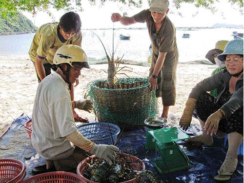 Tôm hùm thương phẩm là mặt hàng xuất khẩu có giá trị cao của ngành thủy sản Việt Nam
