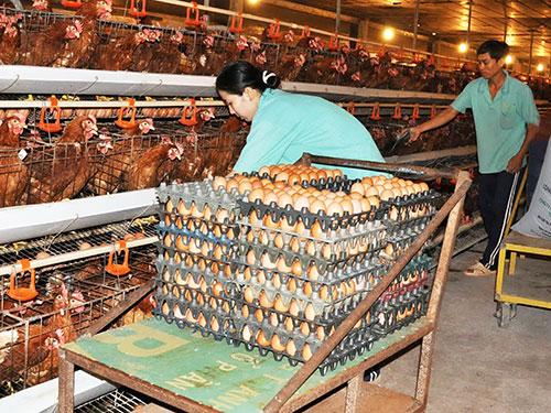 Trang trại nuôi gà VietGap của Công ty CP Phát triển Nông nghiệp Thanh niên Xung phong