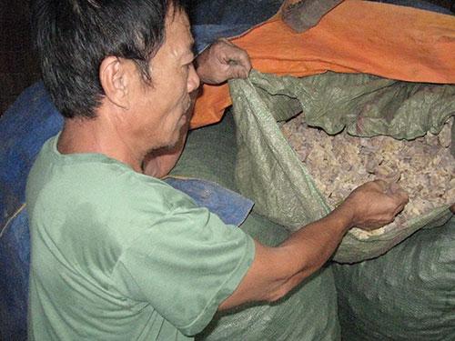 Gia đình ông Trương Công Học còn hơn nửa tấn nấm được thu hoạch từ nhiều tháng nay đã mốc meo