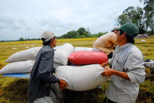 Giá lúa hè thu tại ĐBSCL đang rất cao, có lợi cho nông dân Ảnh: NGỌC TRINH