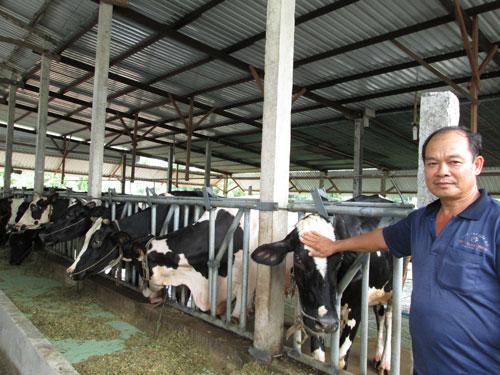 Một hộ nuôi bò sữa ở huyện Củ Chi, TP HCM