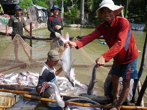 Thu hoạch cá tra tại ĐBSCL Ảnh: THANH VÂN