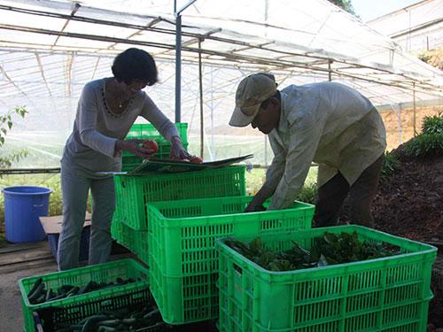 Nhà vườn Đà Lạt thu hoạch rau củ VietGAP chuẩn bị giao cho siêu thị