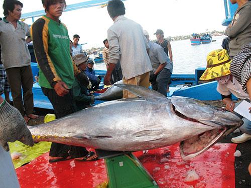 Thu mua cá ngừ đại dương ở Khánh Hòa