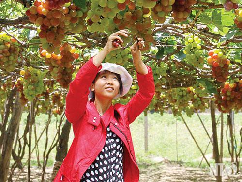 Diện tích trồng nho ở Ninh Thuận từ 2.300 ha hiện giảm xuống còn chưa đến 750 ha