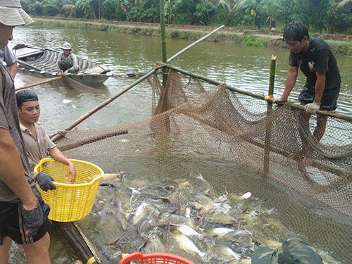 Người nuôi cá tra đã bắt đầu có lãi sau thời gian thua lỗ