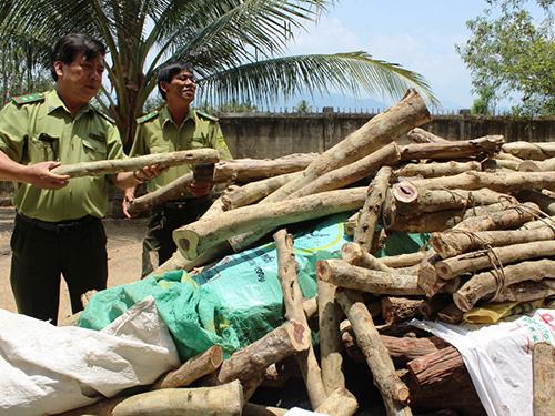 Những khúc gỗ trắc non được lực lượng kiểm lâm huyện Vạn Ninh thu giữ