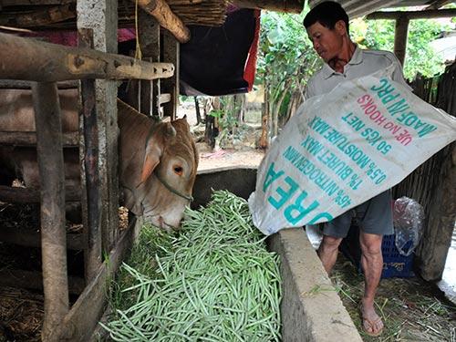Ông Nguyễn Tấn Cảnh (xã Tịnh An, huyện Sơn Tịnh) đổ những bao đậu tây cho bò ăn vì không có người mua.