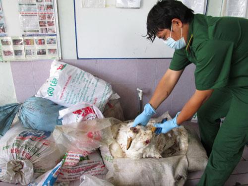 Vịt chết xếp trong bao vận chuyển  về TP HCM bị phát hiện
