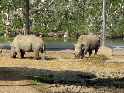 Tê giác tại vườn thú Safari World ở Bangkok - Thái Lan Ảnh: TẤN THẠNH