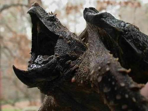Rùa cá sấu là loài rùa nước ngọt lớn nhất thế giới