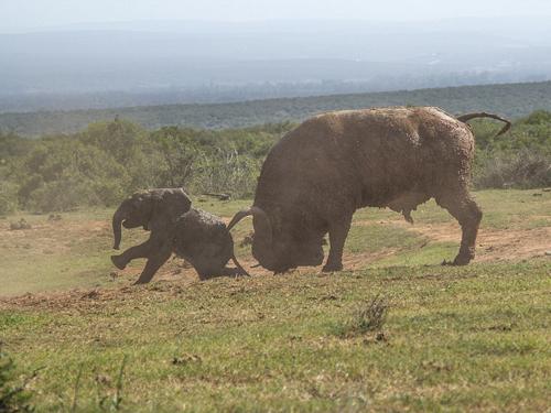Sau khi quyết định thách thức trâu trừng với kích thước gấp đôi mình, chỉ với một cú tung sừng của trâu rừng, voi con đã bị hất bay vài mét.