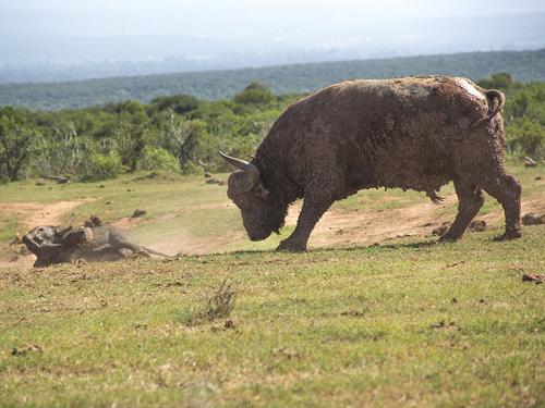 Trâu rừng không hề sợ hãi, chờ đợi voi con xâm phạm lãnh thổ trước khi dùng sừng hất nó văng xa.