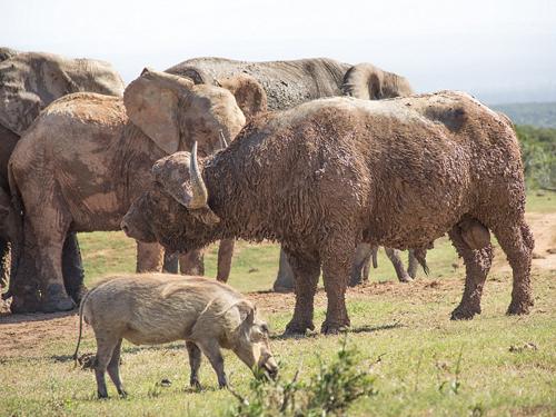 Đàn voi dường như không quan tâm đến sự hiện diện của trâu rừng dù nó vừa mới làm thành viên nhí của họ bị thương.