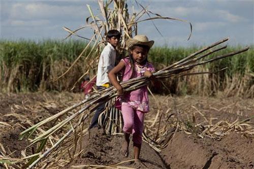 Trẻ em Bolivia thu hoạch mía Ảnh: PULS AMERICA
